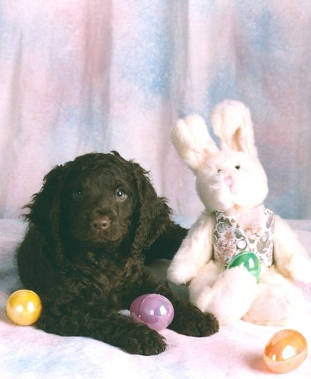 Am.-vesispanieli-Wavecrest-Easter-Pup.jpg